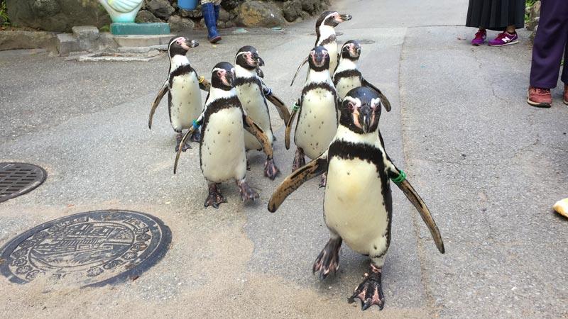 散歩中のペンギン